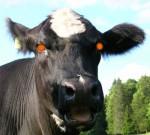vache fole,esb,sécurité alimentaire,agro-alimentaire,élevages industriels