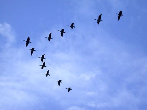 oiseaux-migrateurs[1].jpg