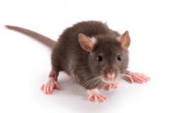 rat10.jpg