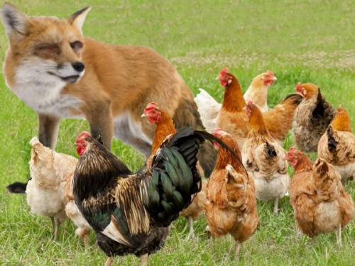 Le renard mis aux abois par les poulets 1.png