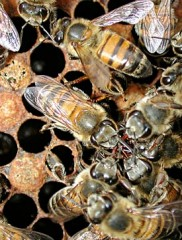 abeilles,pesticides,europe,écologie