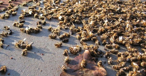 ob_364604_abeilles-mortes.jpg