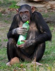 depositphotos_35439685-stock-photo-chimpanzee-and-plastic-bottle.jpg