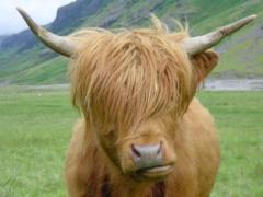 _Highland_Cow.jpg