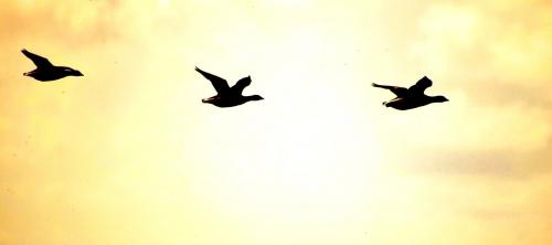 flying-geese-3-1394840.jpg